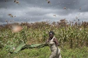 Locusts have multiplied because of unusually wet weather last year and are now causing serious damage in Kenya.