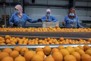 Exporting in the Coronavirus era: workers in Egypt wearing protective masks as they prepare oranges for export to Europe.