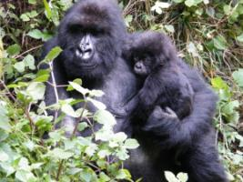 Mountain gorillas in Rwanda's Volcanoes National Park.