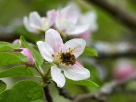 Pollinators can no longer be taken for granted: bee in an apple blossom.
