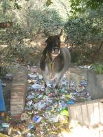 Waste management is a challenge in many Asian cities, including New Delhi: animals feeding on garbage.