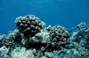 Dead coral reef near the Maldives in the Indian Ocean.