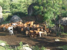 The carbon footprint of meat is very high: cattle in Tanzania.