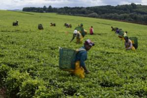 By talking to companies, NGOs can achieve improvements in working conditions: A tea plantation owned by the Unilever Group in Kenya.