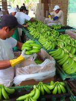 Visiting a banana plantation in Peru during a sourcing mission.