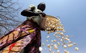 An East African farmer winnows maize grains.