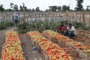 Secure land rights are a prerequisite for investment and productive land management: tomato growing in Ethiopia.