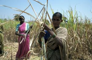 Sugar-cane harvest in the Indian state of Karnataka. Bio-Lutions produces disposable tableware from the plant residues.
