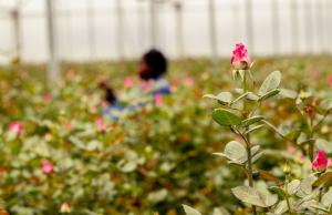 Flourishing no-tax industry: Kenyan flower farm.