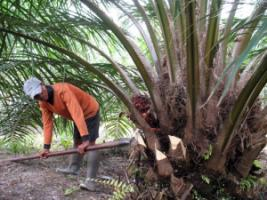 Worker harvesting palm fruit.