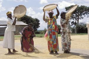 Ugandan women work on the fields, but they normally do not own the land: winnowing rice in Doho district.