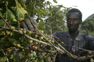 Coffee is one of Ethiopia's principal exports: local farmers at work.