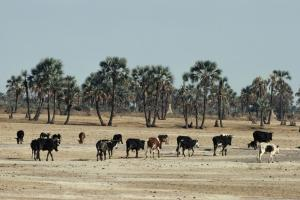 Overgrazing is one of the problems that turn grasslands into deserts, here in Namibia.
