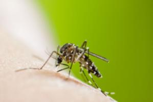 The mosquito species Aedes albopictus can transmit yellow fever and dengue as well as other diseases.