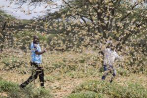 Two men engulfed by locusts in Kenya's Samburu County.