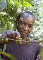 Harvesting coffee in Kenya.