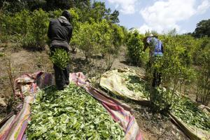 Coca harvest in Putumayo.