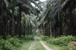 Natural forests have given way to palm oil plantations.