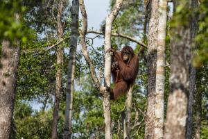 Orangutans are an endangered species – Borneo's jungles are their habitat.