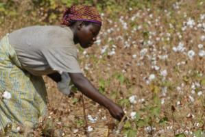 Picking organic Fairtrade cotton in Burkina Faso.