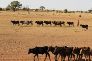 A shepherd drives his herd to a watering place in Burkina Faso.
