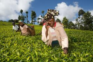 Kenyan tea picker makes a phone call.