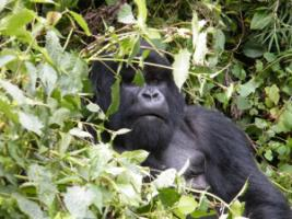 Mutual observation: Mountain gorilla in Rwanda's Volcanoes National Park.