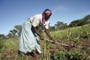 65 % of the population work in agriculture: a farmer in rural Malawi in her maize field.