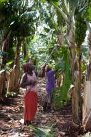 Businesses in Mozambique need financial resources: harvesting plantation bananas in 2007.