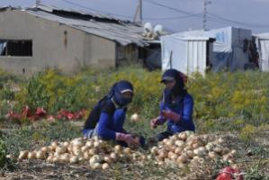 Syrian refugees often work as harvesters in the Bekaa Valley: women collecting onions.