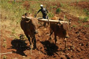 Ethiopian farmer ploughing with oxen.