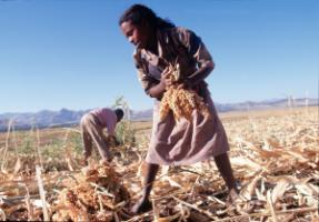 Production for local markets is a safeguard against hunger: sorghum harvest in Ethiopia.