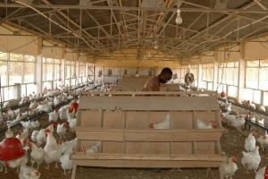 Excessively cheap EU exports destroy local markets: chicken farm in Senegal.