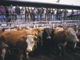 Cattle auction in Buenos Aires, Argentina.