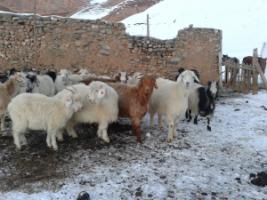 Kyrgyz cashmere goats in winter.