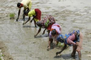 Rice farmers in the Indian state of West Bengal