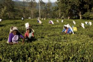Tamil women picking tea at Nuwara Eliya, Sri Lanka