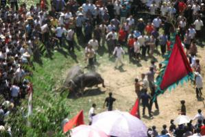 A Miao bull fight