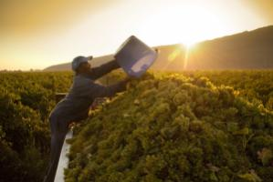 """Agriculture is certainly an area where ACP countries could serve the European market."" Grape harvest in South Africa"