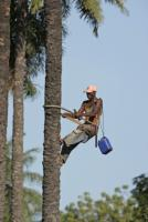 Growing renewable resources has undesirable environmental consequences: worker on a palm oil plantation in Gambia