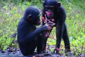 Chimpanzees depend on an intact natural environment