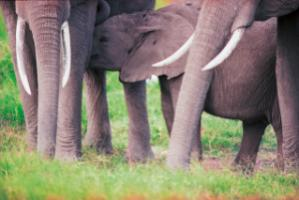 Elephants in the Amboseli National Park