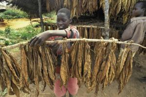 Tobacco is Malawi's most important export good
