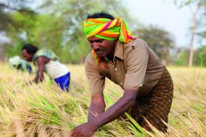 Hybrid rice farmer in India