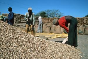 Groundnuts are Gambia's main cash crop
