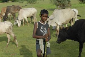A young Adivasi grazing cattle